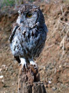 Western Screech Owl